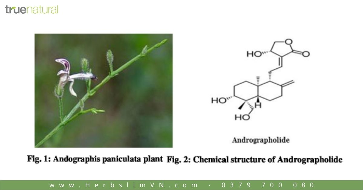 thành phần hoá học của Cây Xuyên Tâm Liên